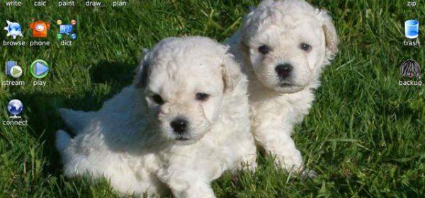 Little_white_puli_dogs
